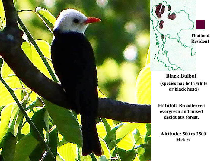 Black Bulbul