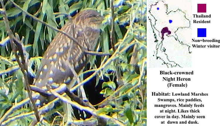 Black-crowned Night Heron (Female)