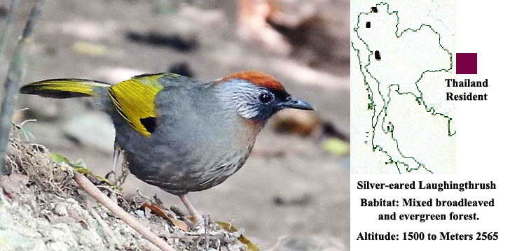 Chestnut-crowned (Silver-eared) Laughingthrush