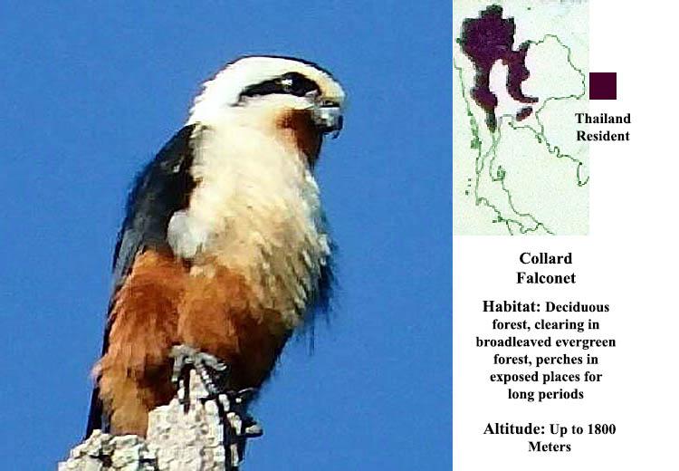Collard Falconet