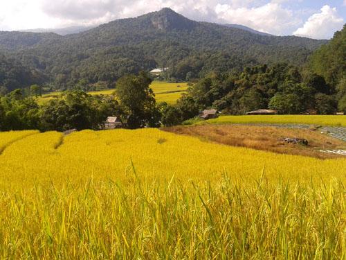 Mountain rice fields Doi Inthanon National Park Thailand