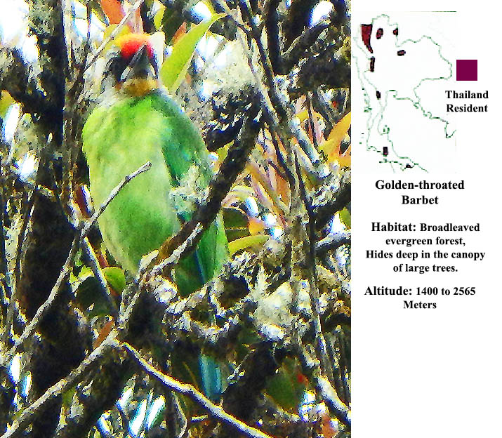Golden-throated Barbet