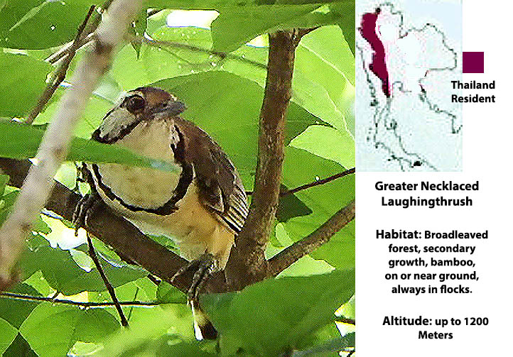 Greater-necklaced Laughingthrush