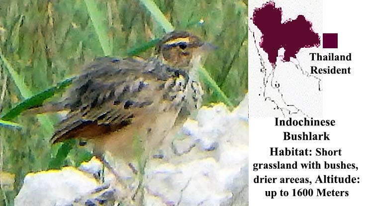 Indochinese Bushlark