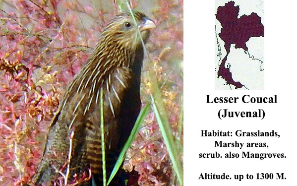 Lesser Coucal