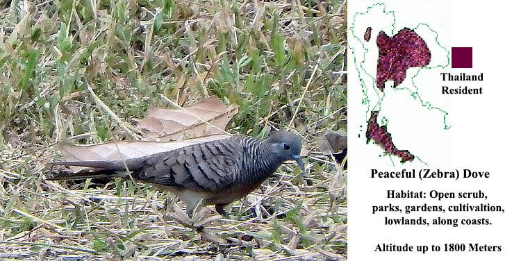 Peaceful (Zebra) Dove