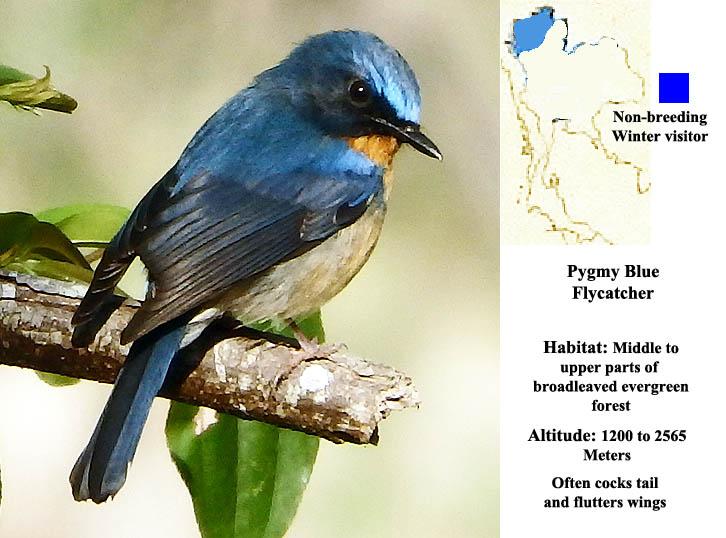 Pygmy Blue Flycatcher