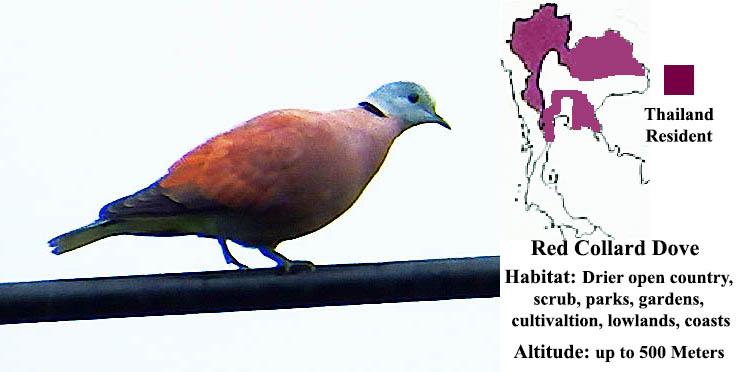 Red-collard Dove
