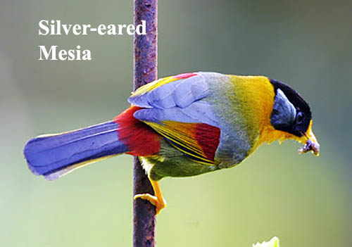 Silver-eared Mesia