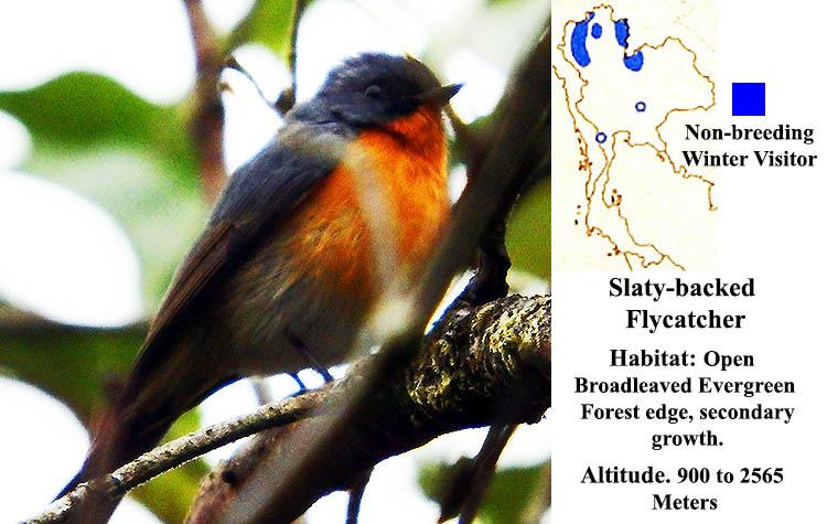Slaty-backed Flycatcher