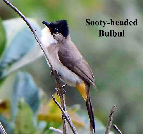 Sooty-headed Bulbul