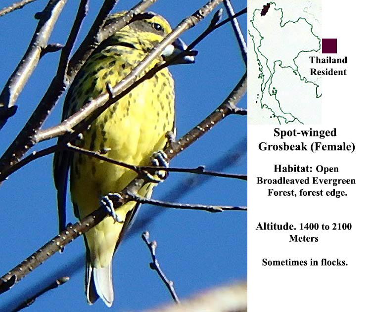 Spot-winged Grosbeak (female)