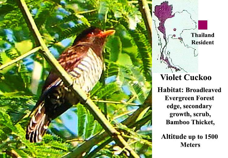 Violet Cuckoo