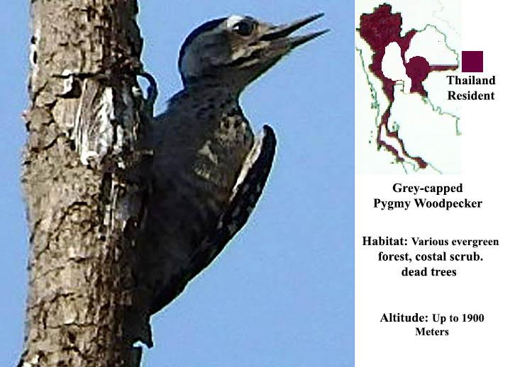 Grey-capped Pygmy Woodpecker
