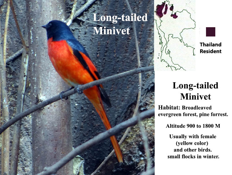 Long-tailed Minivet