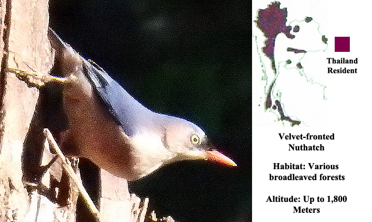 Velvet- fronted Nuthatch