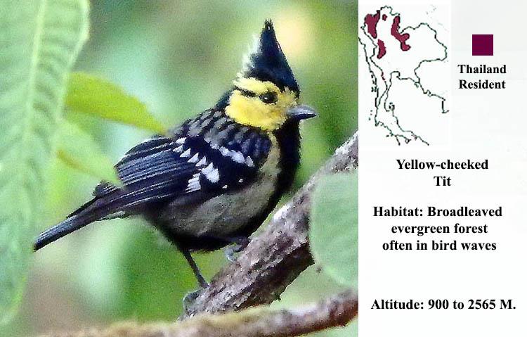 Yellow-cheeked Tit